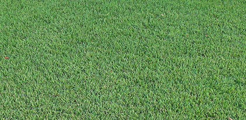 Empire Zoysia Turfgrass King Ranch Florida Turfgrass