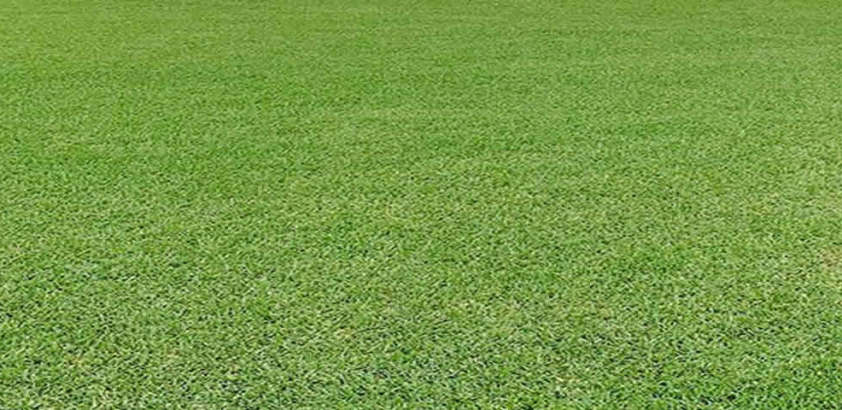 Citra Blue St. Augustine Turfgrass King Ranch Florida Turfgrass