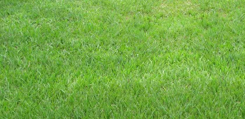Bahia Grass King Ranch FL Turfgrass